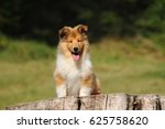 Portrait Of Rough Collie Dog I...
