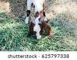 Small photo of Goat Grass
