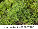 Small photo of Achillea nobilis (noble yarrow) is a flowering plant in the sunflower family.