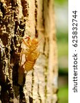 Small photo of fossil of cicada or insect molting on the tree in the summer