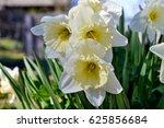 White Daffodils Close Up