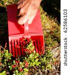Picking berries with a tresher - stock photo