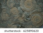 Small photo of ammonites fossil texture as nice natural background