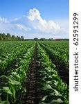Rows Of Organic Corn Under A...