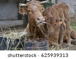 cow licking calf | Shutterstock . vector #625939313