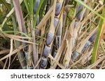 group of cane and field with... | Shutterstock . vector #625978070