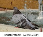 Wet Pigeon A Pigeon Takes A...