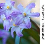chionodoxa flowers. spring...   Shutterstock . vector #626066348