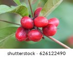 miracle fruit  miracle berry ... | Shutterstock . vector #626122490