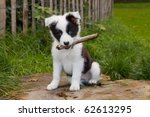 Stock photo seven weeks old border collie puppy dog in green meadow grass 62613295