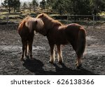 two icelandic horses nuzzle | Shutterstock . vector #626138366