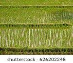fresh green rice fields in... | Shutterstock . vector #626202248