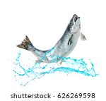 Atlantic salmon fish jumping...