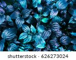 tropical blue leaf glow in the...   Shutterstock . vector #626273024