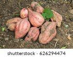 fresh organic sweet potatoes... | Shutterstock . vector #626294474