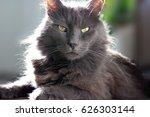 homemade cat  gray cat | Shutterstock . vector #626303144