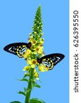 Small photo of Cairns Birdwing Latin name Ornithoptera euphorion on Agrimony flowers