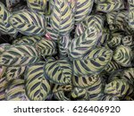 close up of peacock plant ... | Shutterstock . vector #626406920