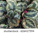 close up of calathea roseopicta ... | Shutterstock . vector #626417594