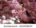 branch of pink japanese cherry... | Shutterstock . vector #626458634