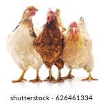 three brown chicken isolated on ... | Shutterstock . vector #626461334