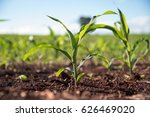 Very Young Corn Plant In A...