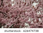 background of  pink cherry tree ... | Shutterstock . vector #626474738