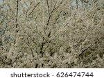 background of  white cherry... | Shutterstock . vector #626474744