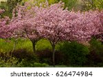 trees of  japanese cherry in... | Shutterstock . vector #626474984