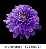 purple flower chrysanthemum. ... | Shutterstock . vector #626506724