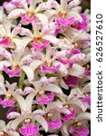 Wild Orchid Rhynchostylis...