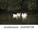gooses in danube delta channel  ... | Shutterstock . vector #626530730