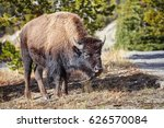 Young American Bison  Bison...