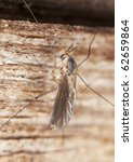 Small photo of Scuttle fly (Phoridae family) extreme close-up with high magnification.