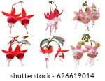 Fuchsia Blooming Flowers...