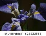 purple iris blossom | Shutterstock . vector #626623556