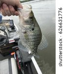 Crappie caught on a Spring day on Pickwick Lake.