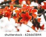 bombax ceiba flowers blooming... | Shutterstock . vector #626665844