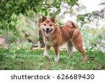 the cute little shiba inu | Shutterstock . vector #626689430