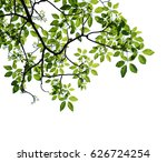 tree branch isolated | Shutterstock . vector #626724254