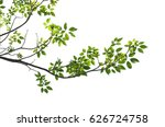 Tree Branch Isolated