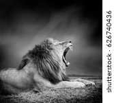 Stock photo dramatic black and white image of a lion on black background 626740436