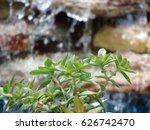 Green Jade Succulent Plant In...