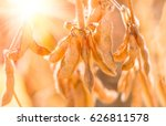 soybean pods on the sunny field....   Shutterstock . vector #626811578