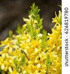 Forsythia Flowers. Blooming...