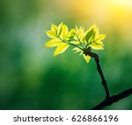 green plant with growing leaves ...   Shutterstock . vector #626866196