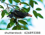Female Asian Glossy Starling ...
