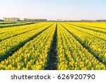 Yellow Colored Tulip Flowers I...
