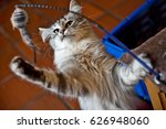Stock photo young female norwegian forest cat playing with a toy 626948060