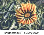 Colorful Gazania Open Flower
